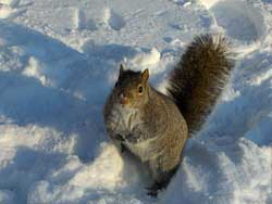 snow-squirrel