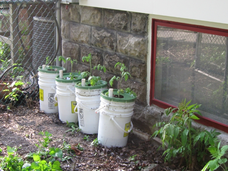 4 Earth Buckets with 1 tomato plant each.