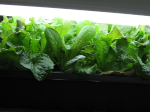 Baby lettuce greens grown under flourescent lights in our office.