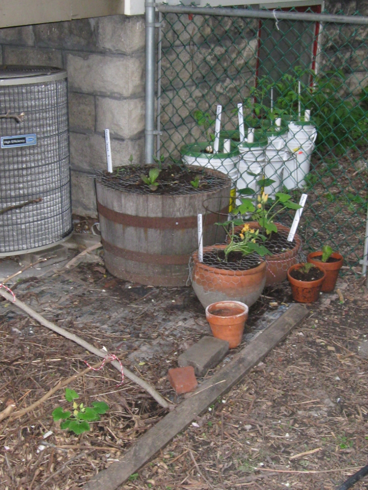 Groups of containers and pots. Trying to leave a path to the air conditioning unit between the trellis and the containers, just in case.