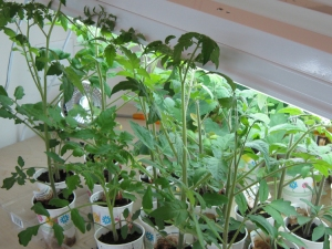 Tomatoes desperately seeking a home.