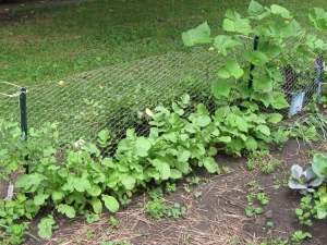 A row of fall radishes along the rabbit fence and also beans climbing same fence.