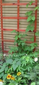 Garage trellis with runner beans finally growing upward. Took them forever. There are also purple 'bush beans' in the forground. Bush being a relative term and all.