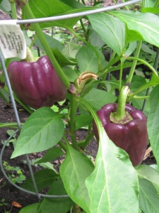 Really cool purple peppers. I love purple food.