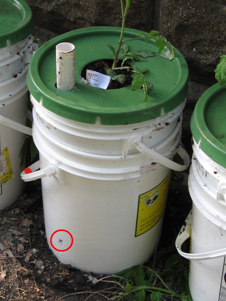 A better close up of the recycled pickel buckets. Interestingly, tomato plants in the buckets were the ONLY ones that did not show signs of blight. Ugly but highly functional.
