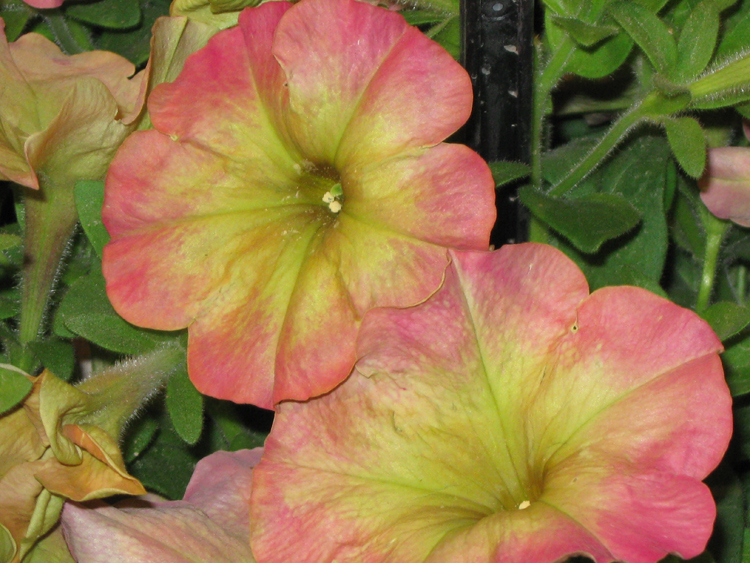 If I were in the market for a pink flower for my house, I would consider the Petunia debonair dustry Rose even though some have given it poor marks. What I saw at the CFGS was eye-catching and different.