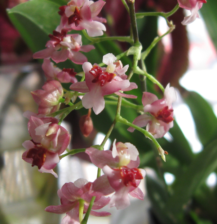 "Oncidium Twinkle ""red fire"" has 5 sprays that look like this, about a foot tall."