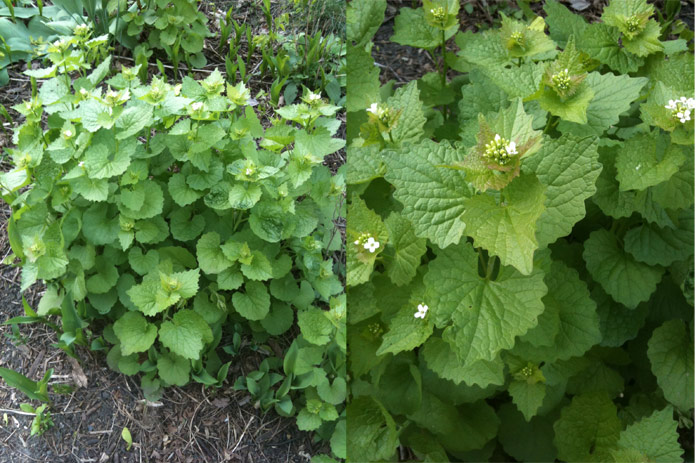 A mature garlic mustard plant can be HUGE, several feet tall.